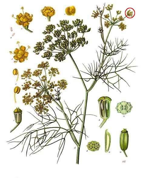 Foeniculum vulgare, ombellule mise en valeur